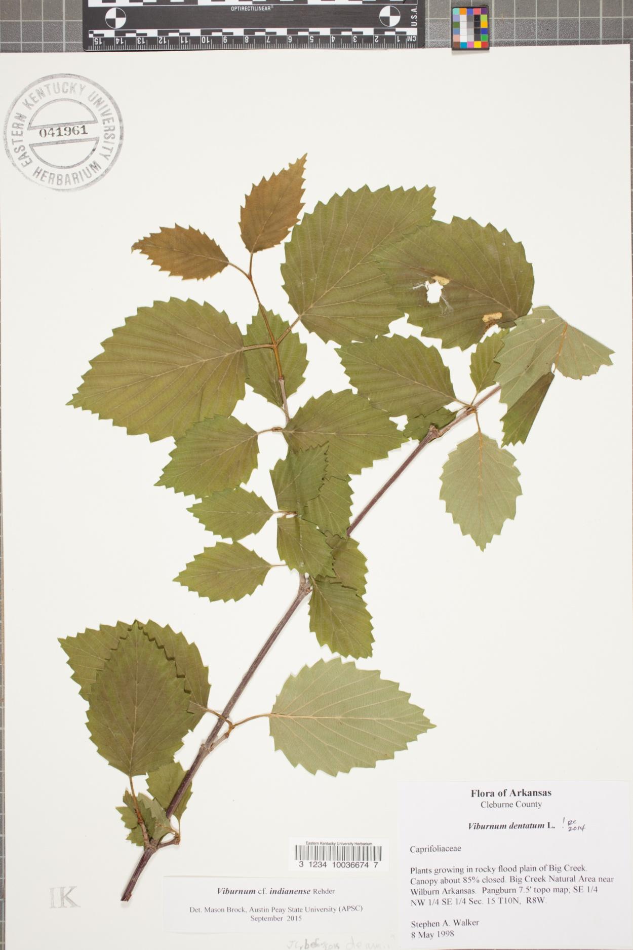 Viburnum indianense image