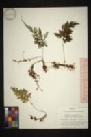 Hymenophyllum polyanthos image
