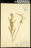 Eurybia hemispherica image
