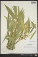 Image of Phyllostachys viridis