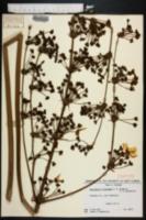 Echinodorus floridanus image