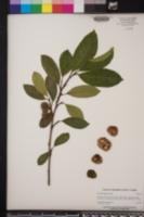 Image of Artocarpus nitidus