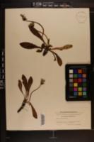 Image of Taraxacum brachyceras