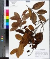 Image of Caraipa densifolia