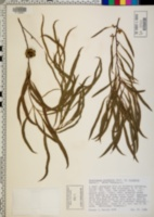Image of Eucalyptus pulchella