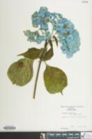 Image of Hydrangea macrophylla