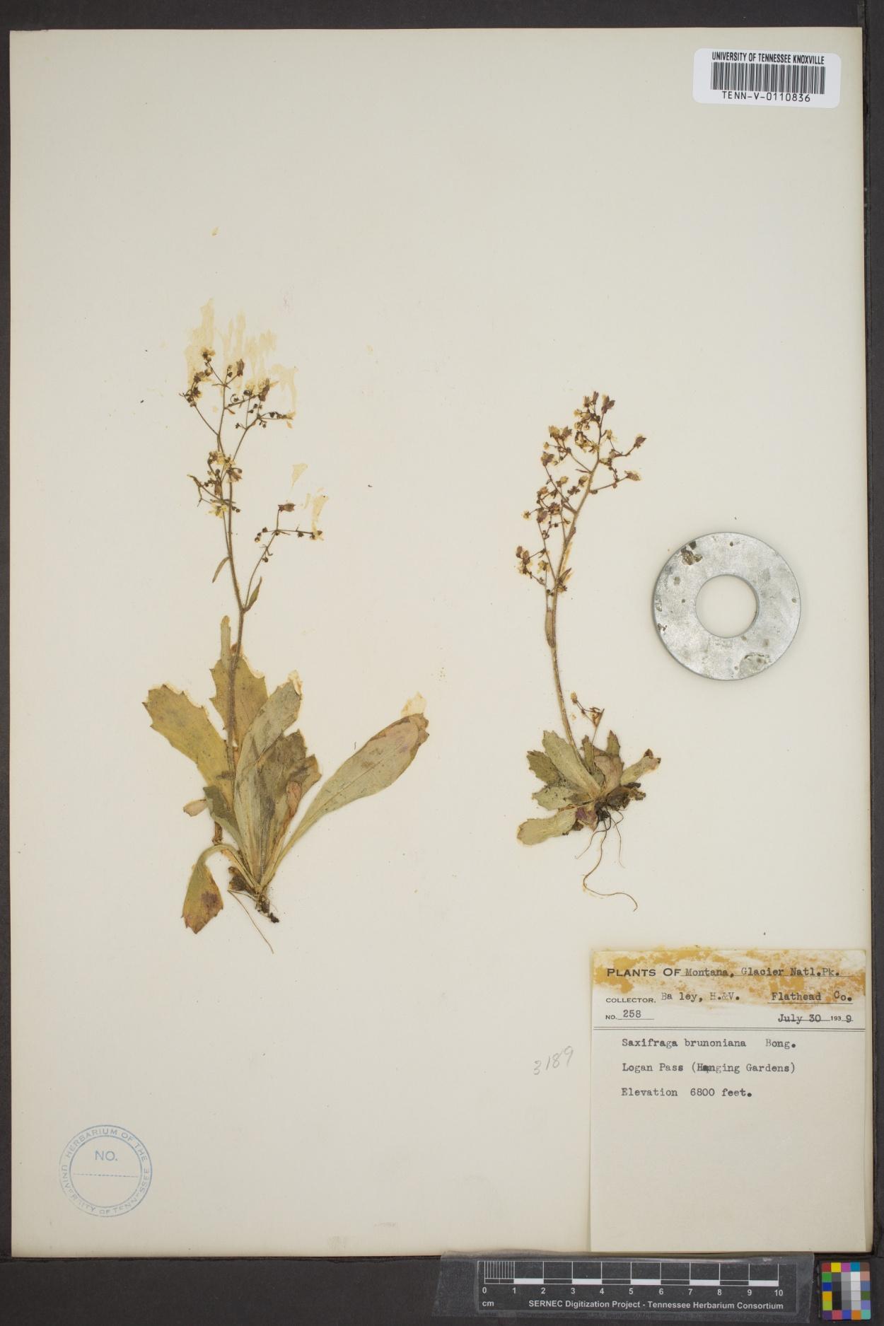 Saxifraga brunonis image