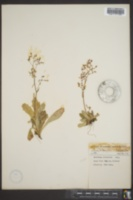 Image of Saxifraga brunonis