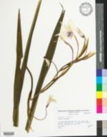 Image of Acidanthera bicolor