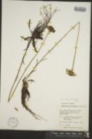 Helenium pinnatifidum image