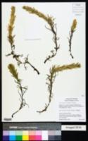 Castilleja oresbia image