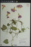 Ipomoea purpurea image
