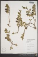 Image of Salix flagellaris