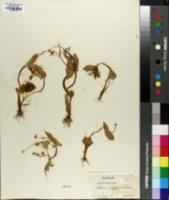 Image of Ranunculus populago