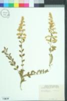 Image of Ligustrum acuminatum