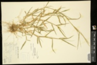Digitaria ciliaris image