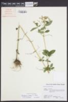 Eupatorium album var. vaseyi image