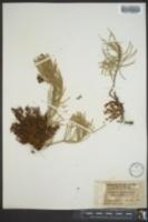 Arceuthobium divaricatum image