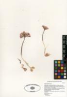 Image of Allium parishii