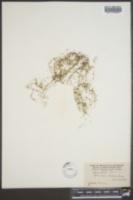 Utricularia clandestina image