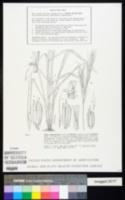 Oryza longistaminata image