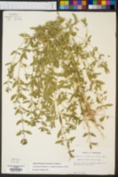 Trichostema brachiatum image
