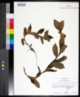 Tradescantia fluminensis image