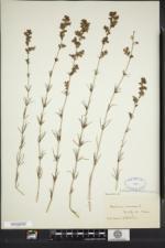 Galium verum subsp. wirtgenii image