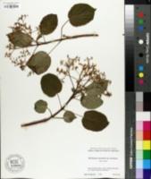 Image of Hydrangea anomala