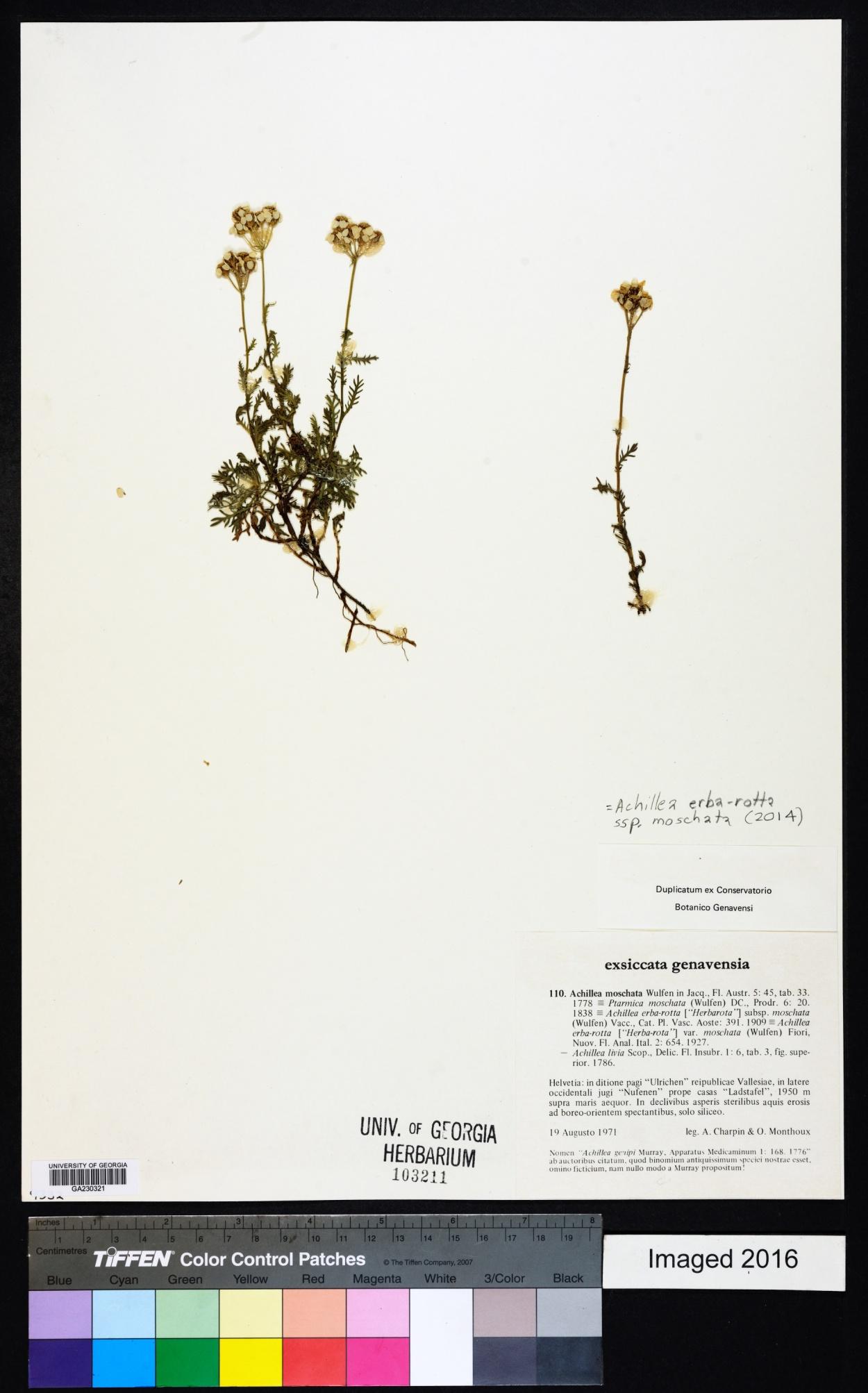 Achillea erba-rotta image