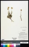 Achillea erba-rotta subsp. moschata image