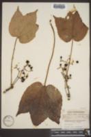 Parthenocissus tricuspidata image