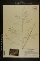 Tridens chapmanii image
