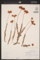Eriogonum fasciculatum var. polifolium image
