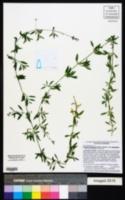Arenaria lanuginosa subsp. lanuginosa image