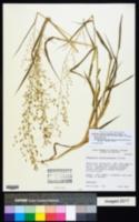 Image of Eragrostis chiquitaniensis