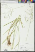Erianthus giganteus image