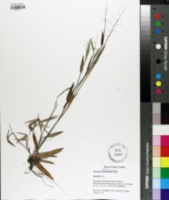 Image of Panicum webberianum