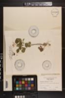 Cardamine flagellifera image