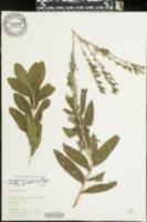 Image of Lithospermum parviflorum