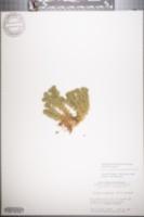 Image of Huperzia porophila