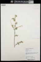 Coursetia glandulosa image