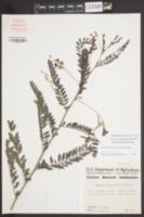 Sesbania vesicaria image