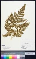Image of Arachniodes miqueliana
