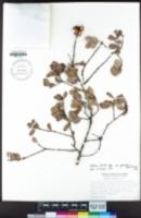 Quercus durata var. gabrielensis image