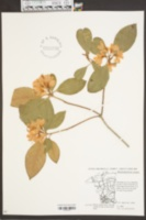 Rhododendron minus image