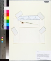 Isoetes flaccida image