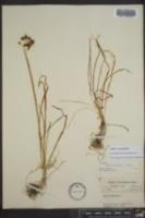 Allium cernuum image