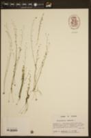 Utricularia subulata image