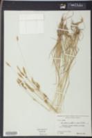 Anthoxanthum odoratum image